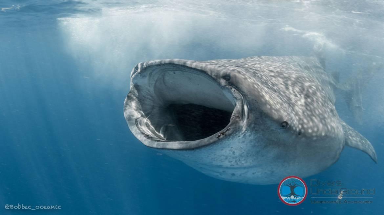 Swim with Whale Shark | Season 2019 | Mexico