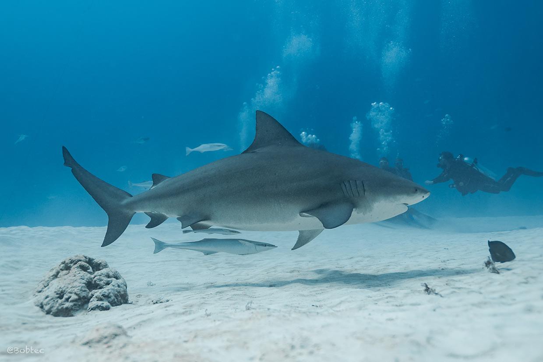bull shark dives playa del carmen