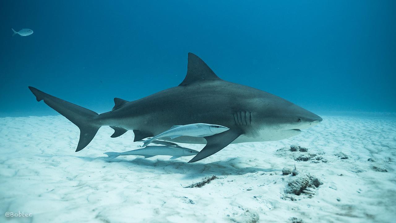 Bull Shark Diving in Playa del Carmen