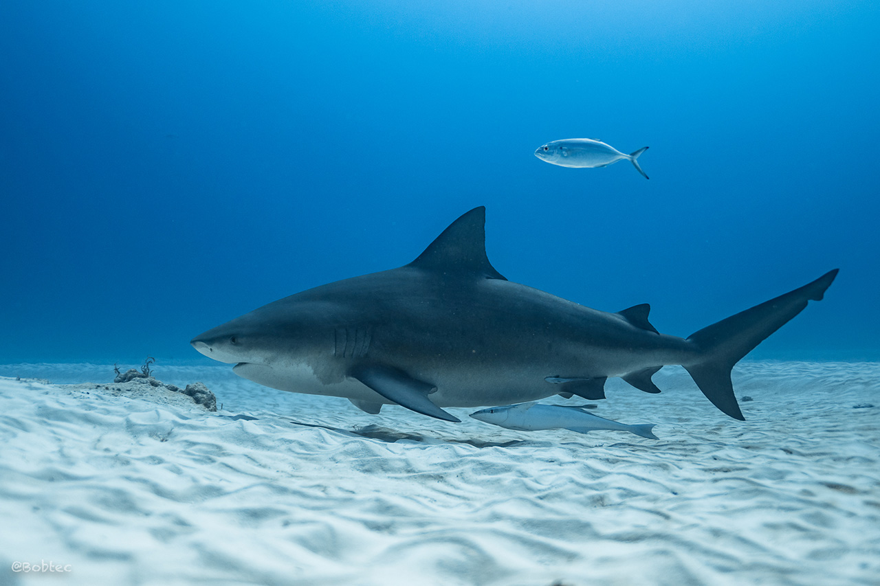 Diving with Bull Sharks in Mexico